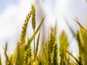 France : de la guerre agricole.